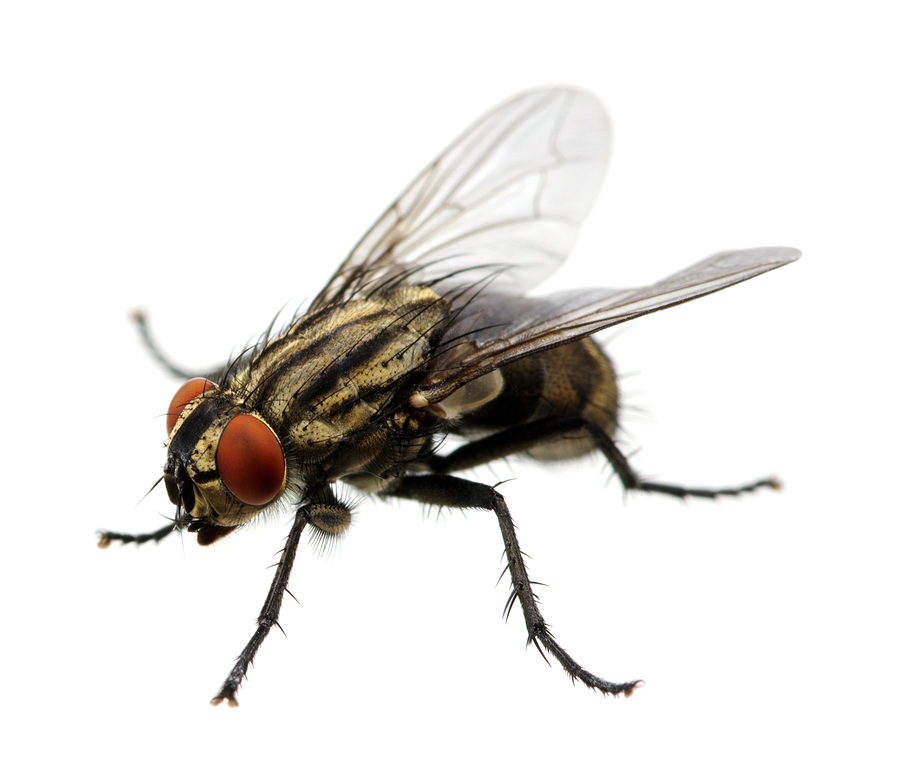 Maine Fly Exterminator | Maine Bed Bugs and Pest Control