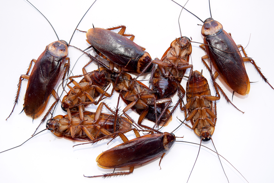 Maine Cockroach Exterminators | Maine Bed Bugs and Pest Control