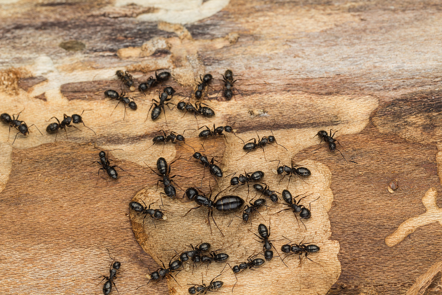 Maine Ant Exterminators | South Maine Bed Bugs and Pest Control