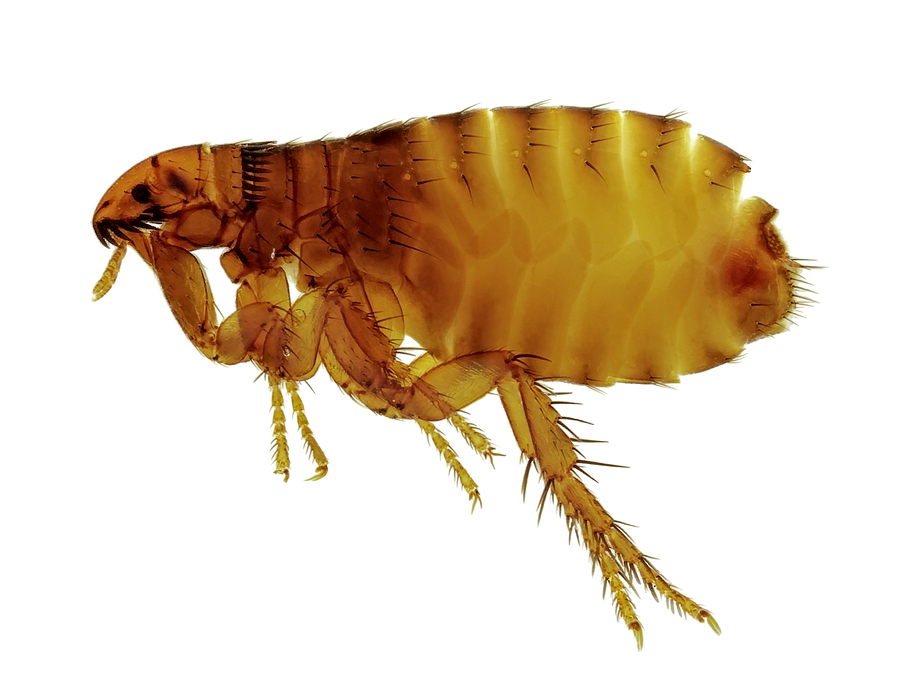 South Maine Flea Exterminator | Maine Bed Bugs and Pest Control