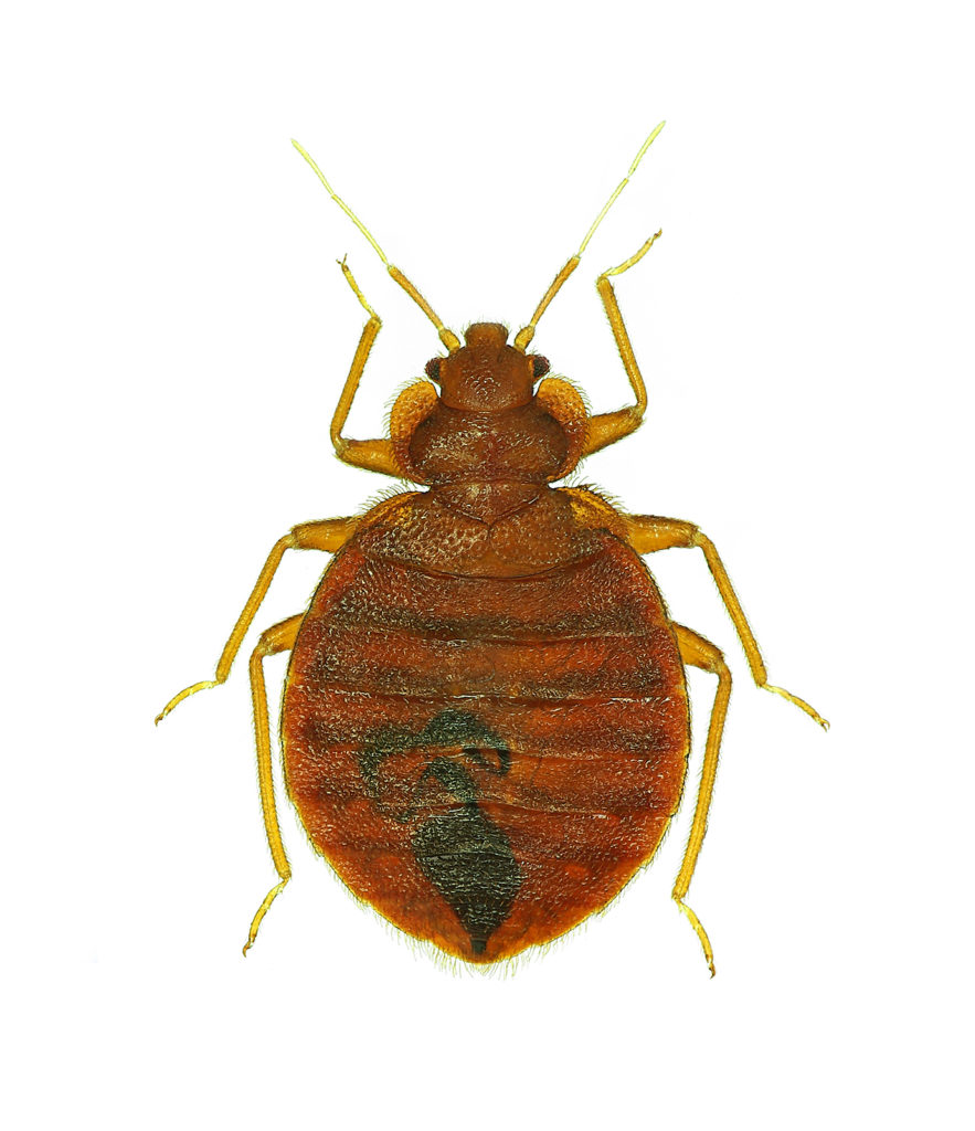 learn the difference between a bedbug (pictured) and a flea.