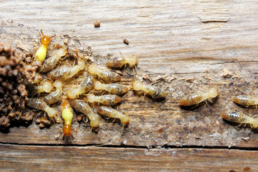Termites Archives Maine Bed Bugs And Pest Control Maine Bed Bugs And Pest Control